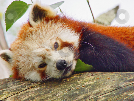 Portrait of a red panda stock photo, Portrait of a red panda resting on a log and watching to the camera. Picture taken at the zoo of Z???rich by Emmanuel Keller
