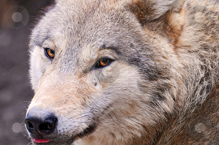 Portrait of a wolf stock photo, Closeup on the face of a Mongolian wolf of the zoo of Z???rich by Emmanuel Keller