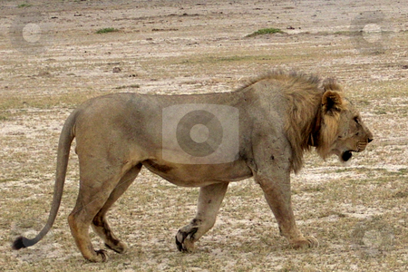 Lion stock photo, A stately, proud Lion walks across the dry sands of the Amboseli National Park, Kenya, Africa. by Rose Nthiwa