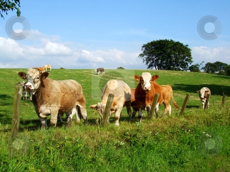 Cows stock photo, Colourful cows on summer day by Juliet Photography