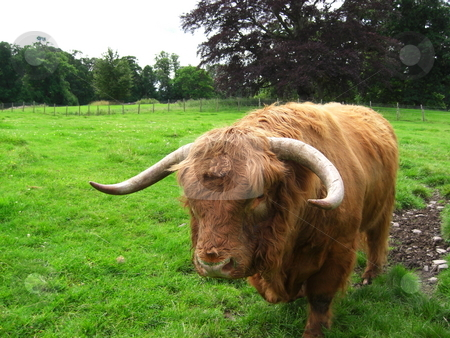Highland cow stock photo, Scottish highland cow close up by Juliet Photography