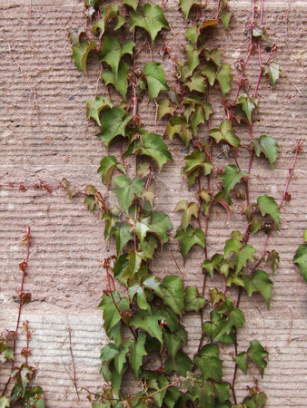 Ivy stock photo, Ivy on the wall. by Juliet Photography