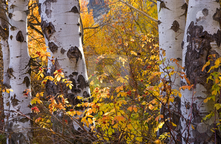 Autumn Contrasts stock photo, Aspen trunks and golden leaves for a nice contrast in the Uptanum Creek Canyon. by Mike Dawson