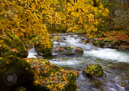Golden Canopy stock photo, A golden canopy of maple leaves covers a mountain stream as it rushes downstream past moss covered boulders near the shoulders of Mt. Rainier by Mike Dawson