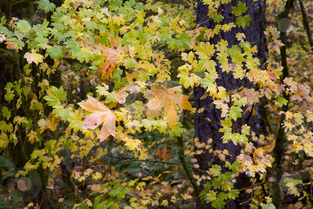 From Big Brother stock photo, A couple of large maple leaves caught in the limbs of a vine maple below caught my eye. by Mike Dawson