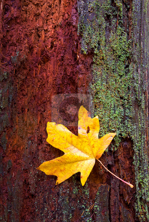 Reclamation stock photo, A lone maple leaf somehow stuck to  rotting tree trunk, mayb e caught on the lichen. Both tree and leaf appear close to be reclaimed by the forest itself. by Mike Dawson