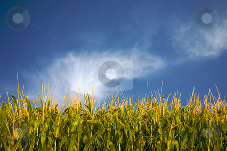Corn and whispy white clouds stock photo, A cornfield with bright blue sky by Mitch Aunger
