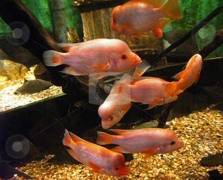 Pink Fish stock photo, Pink Fish swimming around in a tank. by Lucy Clark
