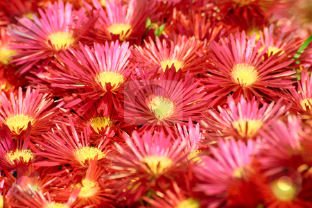 Bright red mesembryanthemum. stock photo, Bright red mesembryanthemum.  Also known as Livingstone daisies and ice plants. by Stephen Rees