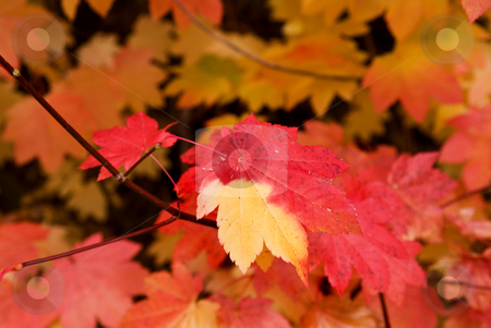 Half and Half stock photo, A vine maple leaf that caught my eye as it was nearly half red and half gold along a trail near the Wenatchee River. by Mike Dawson
