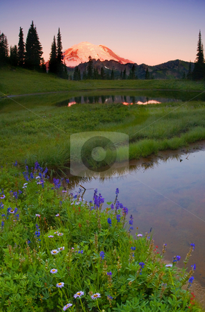 Rainier Sunrise stock photo, Lupine, Aster and PAintbrush line a small alpine lake as Mt. Rainier glows with the first light of a new day. by Mike Dawson