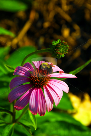 Pink Flower and Bee stock photo, A bee pollinating a flower by Dennis Concepcion