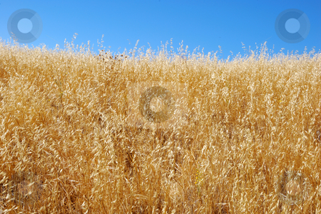 Dry Grass Field Against Blue Sky stock photo, Dry grass field shown against blue sky by Denis Radovanovic