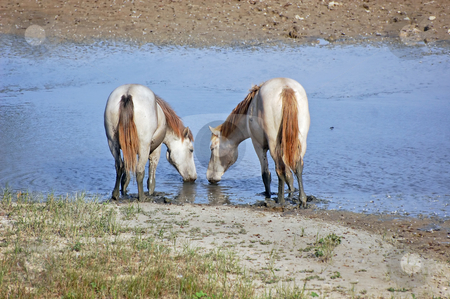 White horses stock photo, Camargue horses drinking water of a small river by Massimiliano Leban