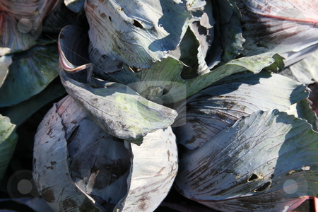 Red Cabbage stock photo, Red cabbage showing purple tones, at the farmers market by Tom and Beth Pulsipher
