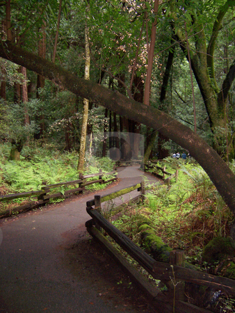 Forest path stock photo, A sunlit path through the redwood forest by Sam Sapp