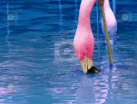 Flamingo stock photo, A pink flamingo feeding from the blue water by Sam Sapp