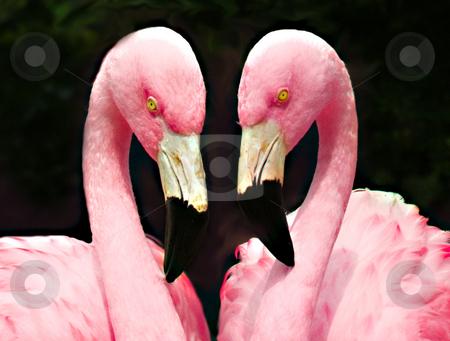 Love Flamingo stock photo, Two loving flamingos posing for the camera by Sam Sapp