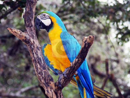 Macaw stock photo, A blue and gold macaw sittting on a brach by Sam Sapp