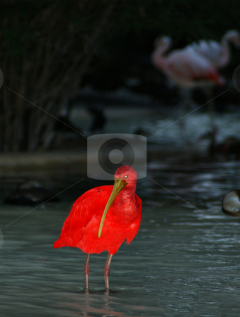 Red bird stock photo, A bright red bird feeding in the water by Sam Sapp