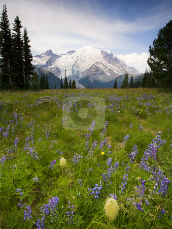 Clearing Skies stock photo, A storm clearing over Mr. Rainier from an alpine meadow ablaze with lupine and other wildflowers by Mike Dawson