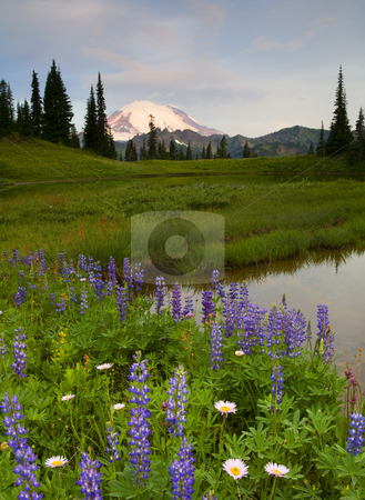 Lupine Sunrise stock photo, Mt. Rainier glowing under the light of a new day as the lupine and aster line an alpine lake. by Mike Dawson
