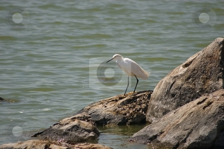 Snowy Egret stock photo, The Snowy Egret (Egretta thula) is a small white heron. It is the American counterpart to the very similar Old World Little Egret by Mariusz Jurgielewicz