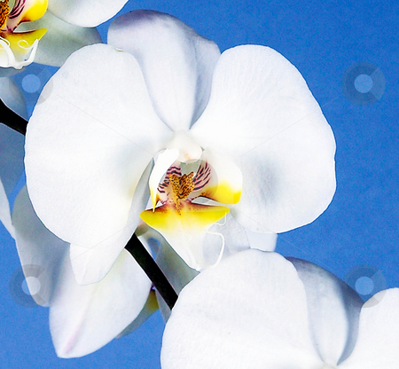 TOGETHERNESS stock photo, Exotic White Orchid on Blue Background! by Elf Evans