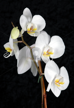 SARA ELLA stock photo, White Orchid on Black Velvet Background,