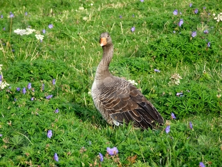 Grey goose stock photo, Grey goose among flowers by Juliet Photography