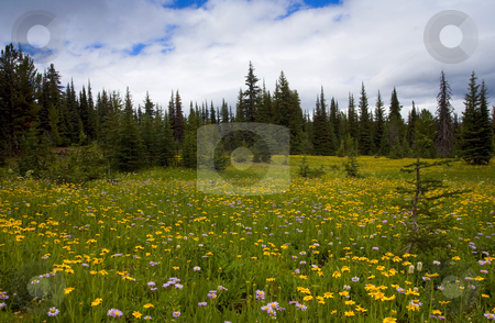 Wildlflower Meadow stock photo, A meadow covered with wildflowers of mostly aster and balsamroot near the top of Darling Mountain by Mike Dawson
