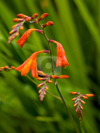 Flowers with rain drops stock photo, Orange flowers with rain drops with shallow depth of field by Laurent Dambies