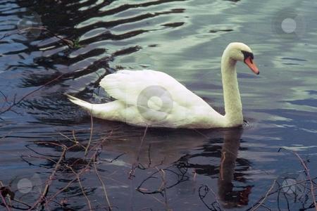 SWAN LAKE stock photo, Scene from Bothel Washington Lake! by Elf Evans