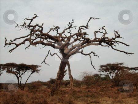 Dead Tree in Wilderness stock photo, A beautiful, dried up tree in the Amboseli National park, Kenya. by Rose Nthiwa