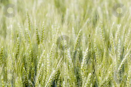 Wheat field stock photo, Wheat field in the summer by Fesus Robert