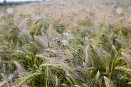 Wheat field stock photo, Wheat field in the summer by Fesus Robert