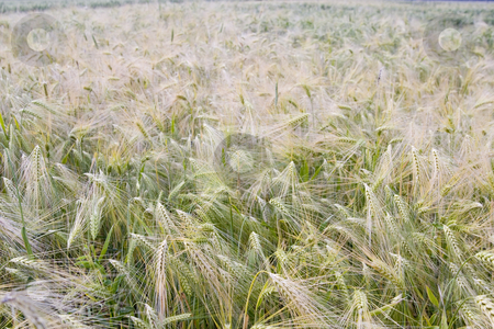 Wheat field stock photo, Wheat field in summer by Fesus Robert