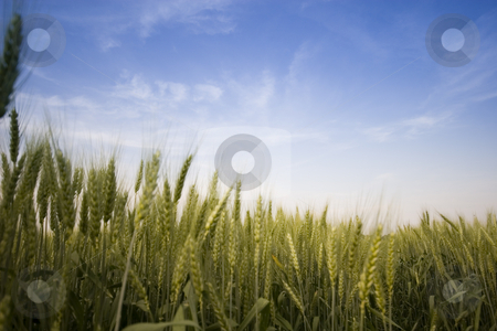 Wheat field stock photo, Wheat field in summer by Fesus Robert