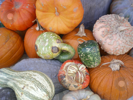 Pumpkins and Gords stock photo, A mixture of pumpkins and gords all together by Sam Sapp