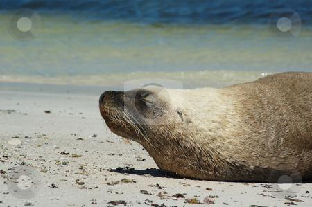 Sunbaking stock photo, Australian sealion sunning himself on beach of Port Rickaby, South Australia by Irene Scales