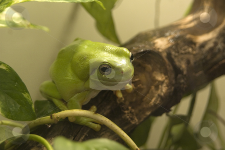 Australian Green Tree Frog stock photo, Australian green tree frog captured in its habitat by Irene Scales