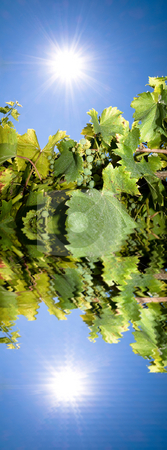 Vineyard with sun reflection stock photo, Vineyard against bright summer with reflection in water by Laurent Dambies