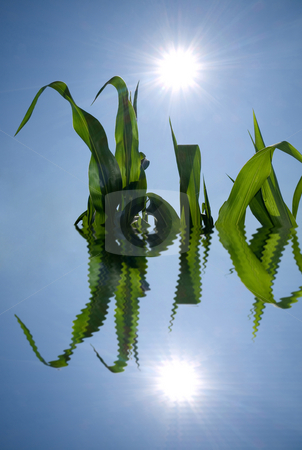 Corn crops water reflection stock photo, Corn crops and  shining sun reflecting in water by Laurent Dambies
