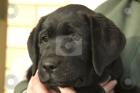 Black lab stock photo,  by Irene Scales