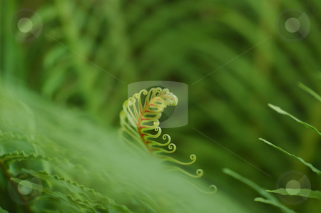 New Life II stock photo, New leaf growing on fern, very green by Irene Scales