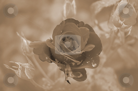 The Rose stock photo, Sepia rose after rain by Irene Scales