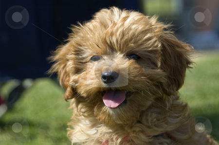 Ruby the Cavoodle stock photo, The Cavoodle is a cross between the Cavalier King Charles Spaniel and the Miniature Poodle by Irene Scales