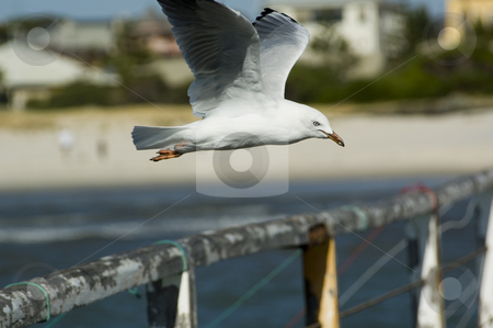 Seagull stock photo, Seagull hovering over jetty or pier by Irene Scales