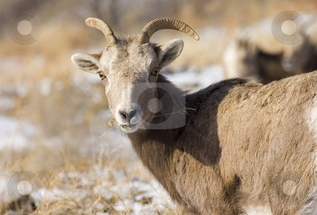 Anything to Eat? stock photo, A young bighorn ram nibbles on grass on a cold December morning in Washington State by Mike Dawson