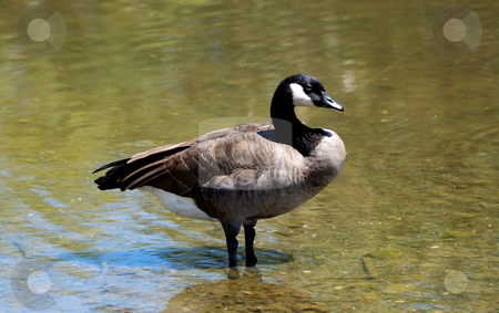 Cackling Goose stock photo, Cackling Canadian goose standing in shallow water by Denis Radovanovic